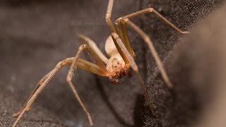 Download Brown Recluse Spider: Extreme Close-Ups II (Warning: Scary!) Video