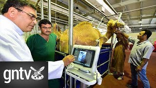 The future of UAE camel racing