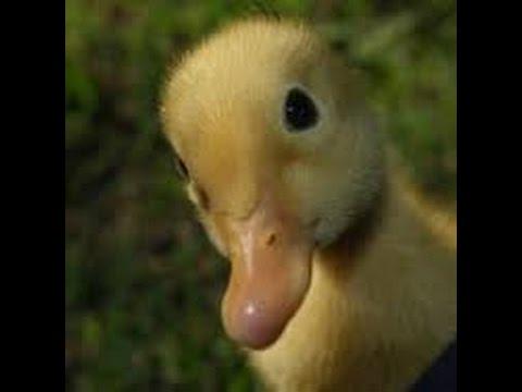 Pekin Duck Hatching!!!