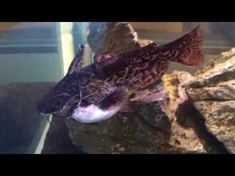 Driftwood Catfish in a Breeding knot