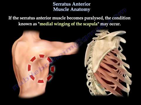 Serratus Anterior Muscle Anatomy, winged scapula  - Everything You Need To Know - Dr. Nabil Ebraheim