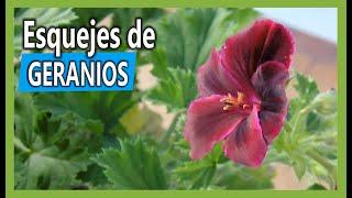 Cómo sacar esquejes de Geranios o planta de novio en nuestro Jardín