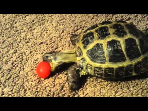Russian tortoise tries to eat a baby tomato