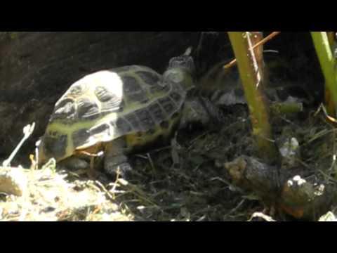 My Pet Tortoises : Ed the bad-boy vs Tina girl