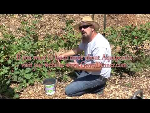 Blackberries - An EASY way to CLONE & get FREE plants