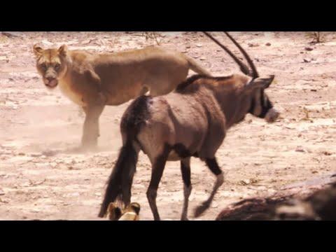 Lions attack Oryx | BBC Earth