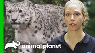 Snow Leopard Needs Eye Drops  The Zoo From The Inside