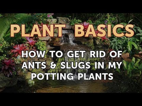 How to Get Rid of Ants & Slugs in My Potting Plants