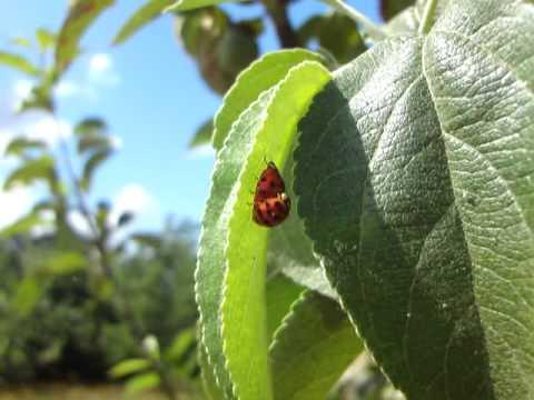 Ladybird sex film and red spider mite