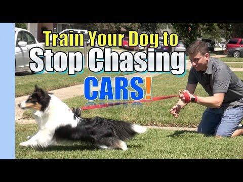 Train your Dog to STOP CHASING & LUNGING at CARS: Where to Start