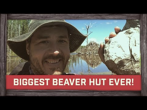 Biggest Beaver Hut Ever!