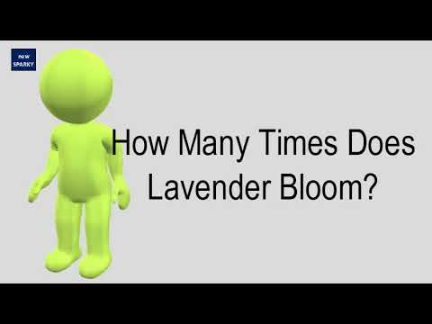 How Many Times Does Lavender Bloom?