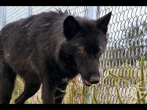 Is Your Fence Tall Enough For a Wolf or Wolfdog? Watch one jump!