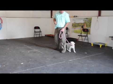 Puppy starting to learn OBEDIENCE. Future service dog. Sit, Heel, Place, Recall...