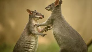 Watch These Rare Wallabies Jump for Joy Over Public Debut