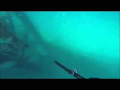Spear fishing barracuda abudhabi