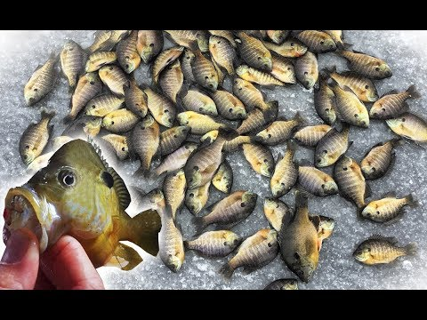 POND Ice Fishing For BLUEGILL! Can We Catch 100 Keepers??