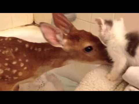 Young Deer Forms Instant Friendship with Kitten