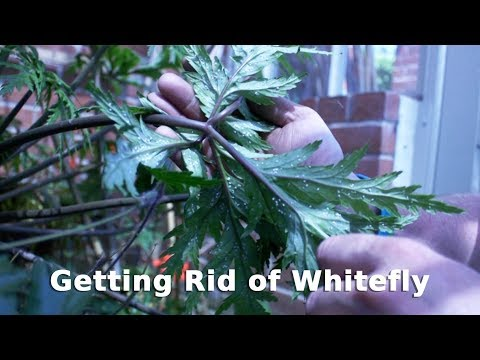 Get Gardening: Getting Rid of Whitefly
