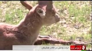 Iran Wild animals Hashilan wetland, Kermanshah province حيوانات وحشي تالاب هشيلان كرمانشاه ايران