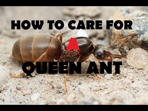 How To Care For A Queen Ant