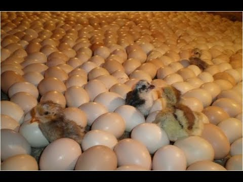 How To Incubate Chicken Eggs, Diy Egg Incubator, Bird Egg Incubator, How To Hatch A Chicken Egg