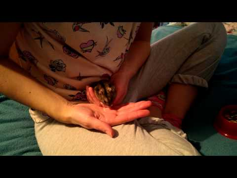 How to Tame A Russian Dwarf Hamster - Advanced Guide