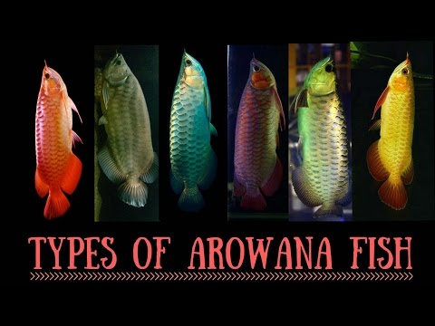 Arowana Species | Types of Arowana fish | Red Arowana | Silver Arowana   | Asian Arowana | Arowana