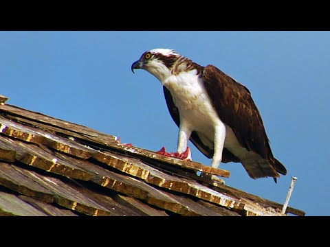 Osprey Eating a Fish at the Naples Pier