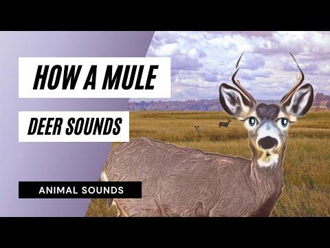 How A Mule Deer Grunt, Snarl - Sound Effect - Animation