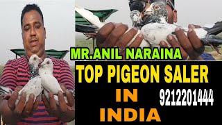 ONE OF THE TOP PIGEON SALER IN INDIA MR.ANIL NARAINA .MADRASI PIGEON & PAIRS .DELHE