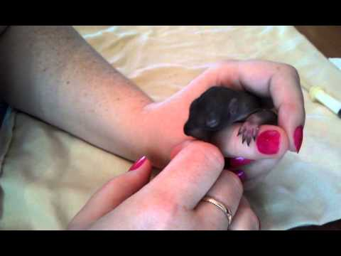 Feeding baby squirrel Lucy at about 2 1/2 weeks old