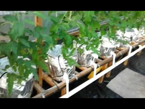 Greenhouse Update.6-2-2017 We have Maters!