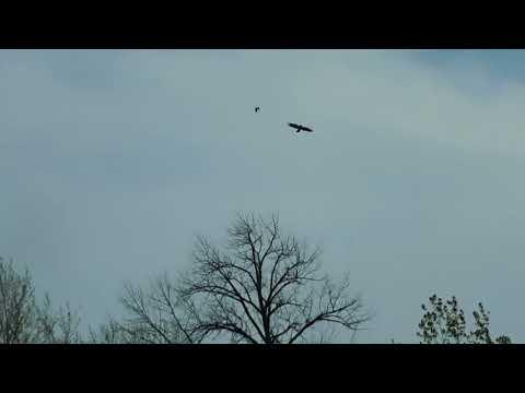 Small Birds Chase Away Big Bird