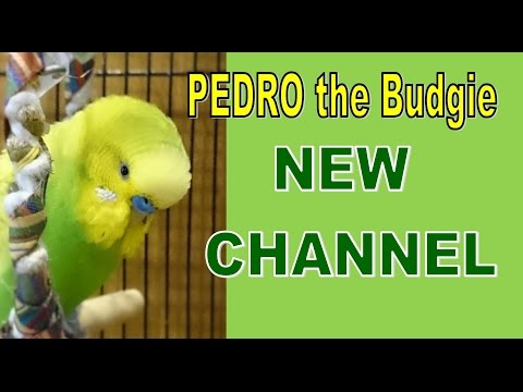 PEDRO the Budgie NEW CHANNEL - Budgie Video #34