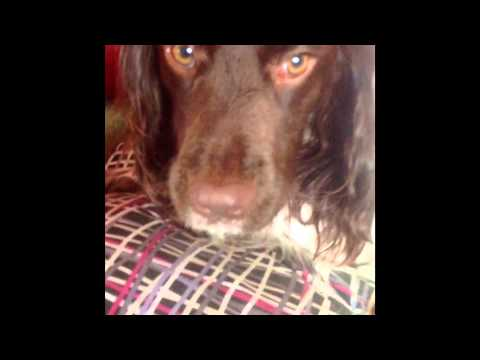 The English Springer Spaniel Teeth Cleaning