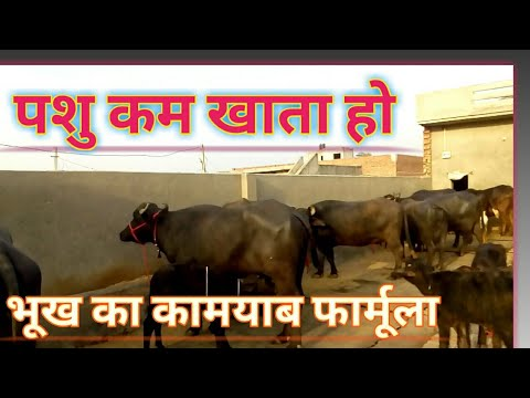 पशु की भूख कैसे बढाऐ।How To Increase Digestion Of Animal।Cow Buffalo।Dairy Farming Information hindi