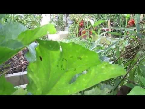Identifying Squash Bug Eggs, Baby Squash Bugs & Powdery Mildew on Squash - TRG 2014