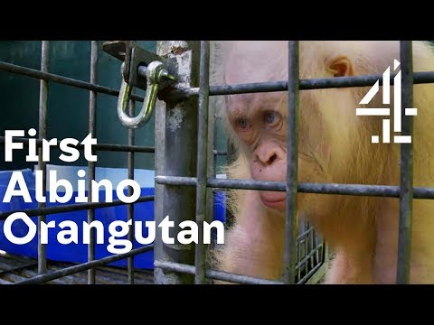 Xxx Mp4 Will World's 1st Albino Orangutan Be Accepted By The Others Orangutan Jungle School 3gp Sex