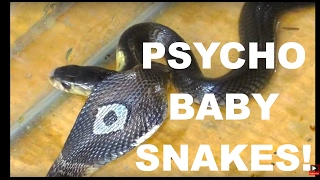 BABY SNAKES Hissing Like Psychos! 2 Thailand Monocled Cobras