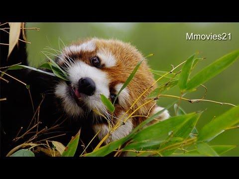 あっちの笹はう〜まいぞ♪~Red Pandas eat bamboo leaves