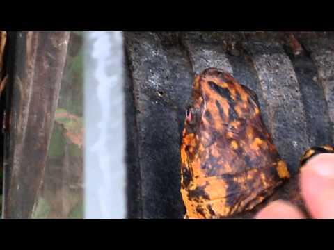 Sparky's Gob-Slug Traps-Box Turtle Care