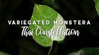 Variegated Monstera Thai Constellation Unboxing!