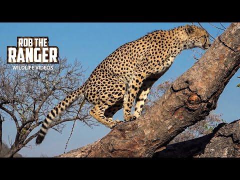 Male Cheetah Marking His Territory In A Fallen Tree