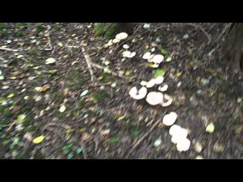 wildmushroom foraging, trooping funnel cap wild mushrooms