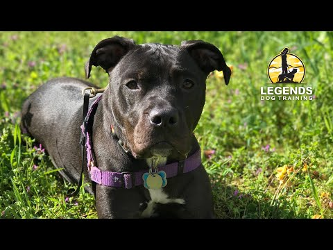 Pit Bull: Reactivity to Dogs