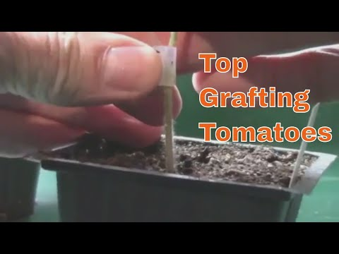 How I Top Graft Tomatoes - A Closeup Look At The Technique I Use.