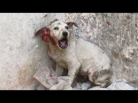 Screaming from pain, puppy rescued with torn ear