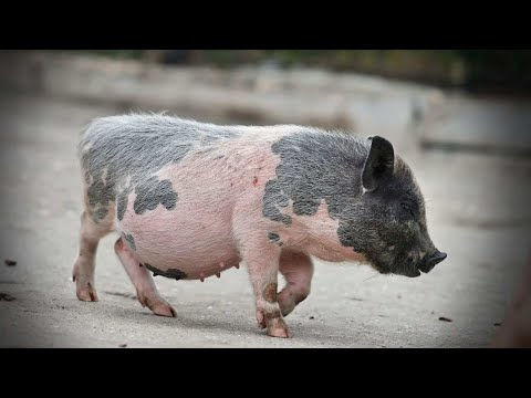 Best Treats for a Potbellied Pig | Pet Pigs