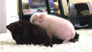 Orphaned Piglet Comforts Kitten Bestie When She Has Seizures